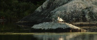 Common Merganser, resting on a rock in the sun
