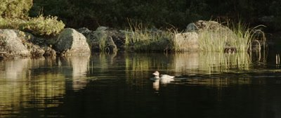 Common Merganser, Swimming in a fall pond