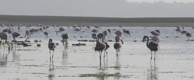 A flock of Andean Flamingos, Phoenicoparrus andinus feed at Low tide on the Island of Chiloe, Chile