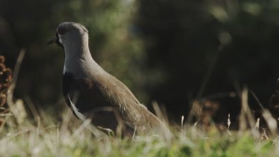 Southern Lapwing, Vanellus chilensis , Chiloe, Chile