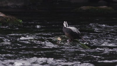 A male Torrent Ducks waits for a mate on fast running river
