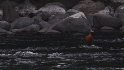 Torrent Ducks in their natural environment- a fast moving river