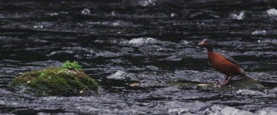 A Female Torrent Duck in its natural environment- a fast moving river