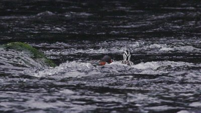 A Female Torrent Duck begins courting a Male to mate in its natural environment- a fast moving river