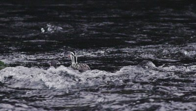 A male Torrent duck mounts a Female and begin to mate in their natural environment- a fast moving river