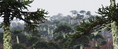 Araucaria Araucana Trees in Conguillio National Park, Chile