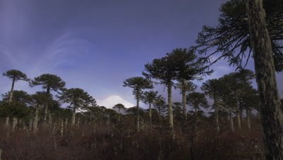 Llaima Volcano in the background of Araucaria Araucana Trees in Conguillio National Park, Chile