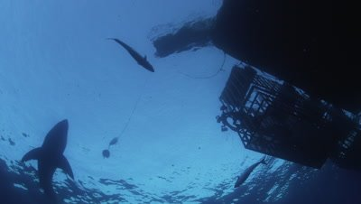 Great White Shark and caged divers, Guadalupe Island, Mexico