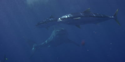 Great White Shark, Guadalupe Island, Mexico