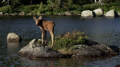 North American Moose calf forages on the edge of a pond