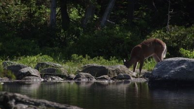 White-tailed deer foraging on the edge of a pond