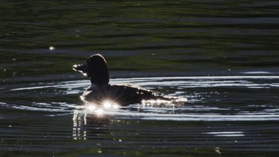 Commom Goldeneye swim, dive and feed on a pond