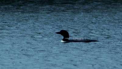 Common Loon swims on a pond