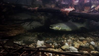 Land Locked Atlantic Salmon swims and spawns in a stream