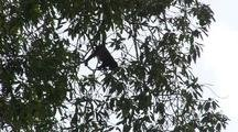 Monkey High Up In Tree Canopy