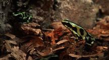 Poison Dart Frogs On Leaf Litter