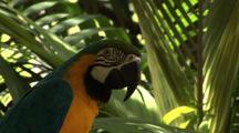 Blue & Gold Macaw In Jungle