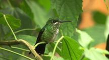 Green Hummingbird Preens