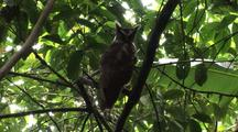 Crested Owl On Branch
