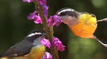 Two Birds Feed At A Flower