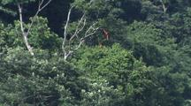 Two Macaws Flying Together Over Jungle