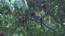 Multiple Scarlet Macaws On A Branch