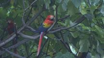 Scarlet Macaw Resting In A Tree