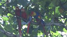 Resting Scarlet Macaws Preen Each Other