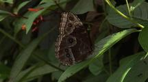 Black And Grey Butterfly