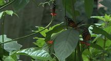 Three Orange And Black Butterflies