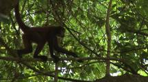Monkey, Possibly Geoffroy's Spider Monkey, Swinging In Tree