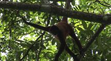 Monkey, Possibly Geoffroy's Spider Monkey, Hanging From Branch