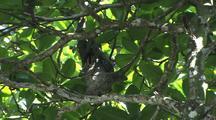 Three Toed Sloth In Tree