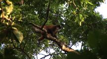Geoffroy's Spider Monkey(?) On Branch