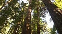 Spiral Pan Up Trunk Of Sequoia Trees, Sun