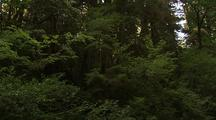 Dense Growth In Redwood Forest, Variety Of Trees
