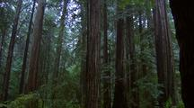 Pan Redwood Forest From Within Hollow Stump