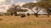 Edited Compilation, African Elephants On The Savanna, Herds And Individuals