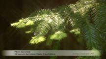 Edited Compilation Of Ferns And Redwood Forest, Redwood National Park