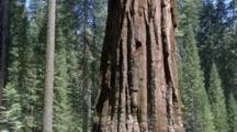 Edited Compilation Of Slow Pans And Tilts Of Giant Sequoia Trees