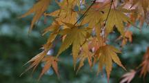 Japanese Maple Leaves On Branch