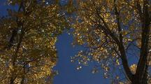 Golden Aspen Leaves Falling And Fluttering Against Blue Sky