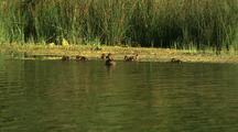 Duck Feeding In Pond With Babies