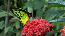 Green Yellow Black Butterfly Feeding On Pink Flower