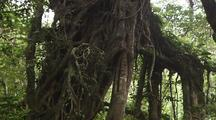 Jungle Tree With Large, Exposed Roots