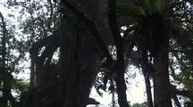 Jungle Canopy From Below With Epiphytes