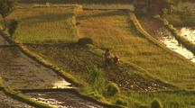 Glowing Rice Fields With Water Buffalo And Plow