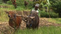 Water Buffalo With Farmer And Plow