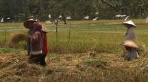 People Harvesting Rice