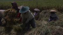 People Harvesting Rice
